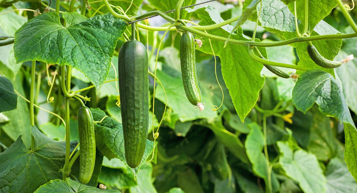 gurkensaft-aus-biogurken